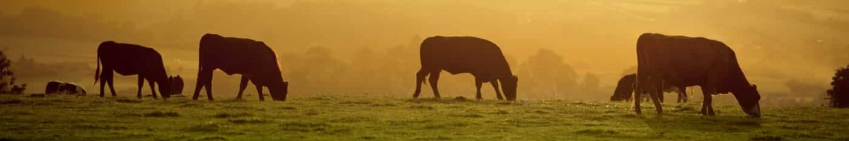 header cows